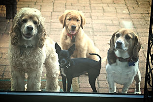 Four dogs waiting outside a glass door