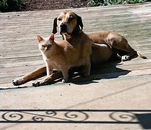 a cat standing over the legs of a Rhodesian Ridgeback who is lying down