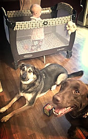 Two polite dogs lying in front of playpen with small child inside