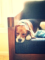 Beagle sleeping on a couch