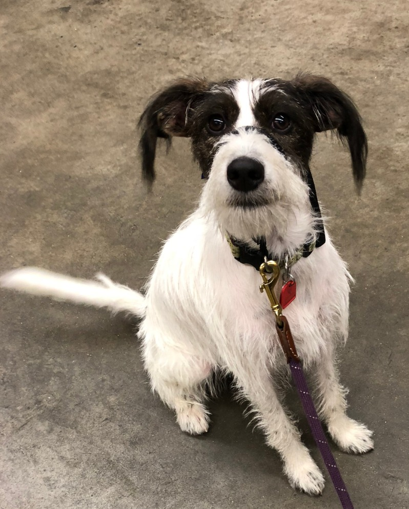 Piper-terrier mix