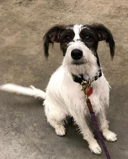 Piper-terrier mix