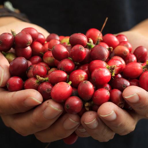 Le café Arabica, c'est quoi ?