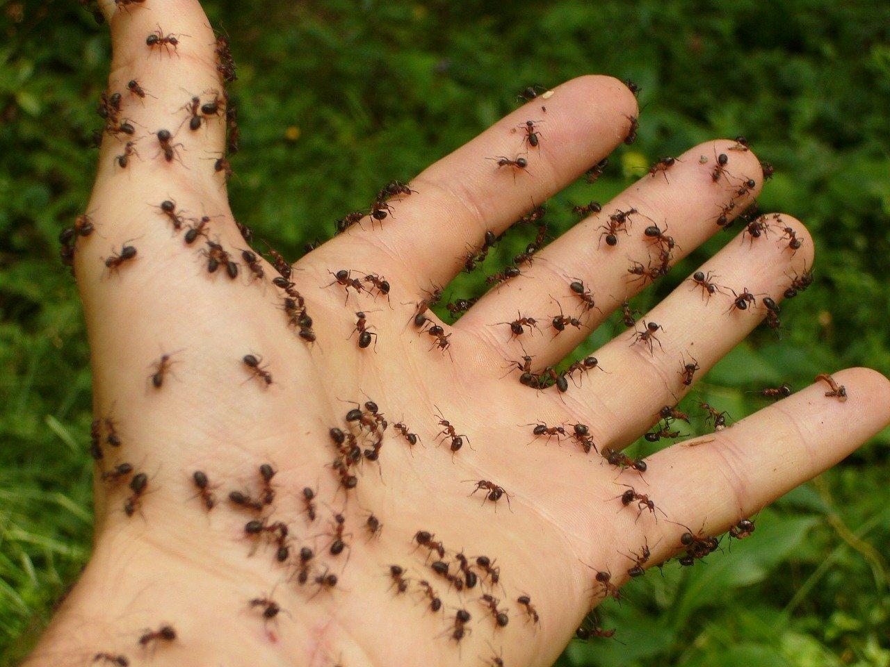 Total Pest Management Townsville Queensland ants pest control