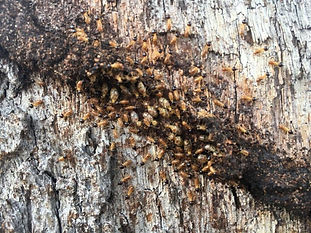 Termite problem? Contact the team at Total Pest Management Townsville North Queensland. Servicing Magnetic Island, Ingham, Ayr, Charters Towers