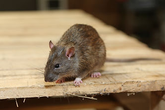 Rodent control available with Total Pest Management Townsville North Queensland