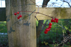 Roz Mellor Viburnum Berry Balance