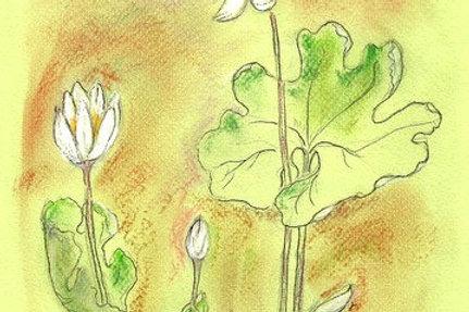 Wildflower Print: Blood Root