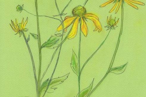 Wildflower Prints: Mountain Sunflower