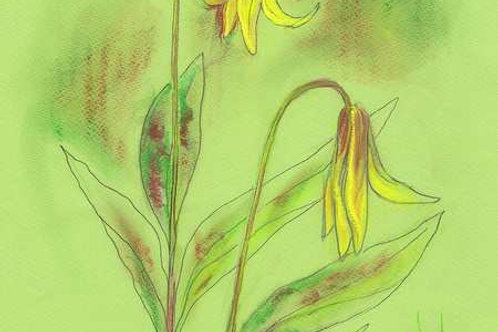 Wildflower Print: Yellow Trout Lily