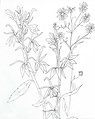 Cardinal Flower Tracing.png