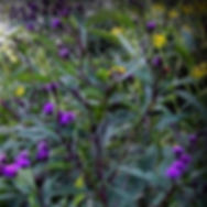 Ironweed and wingstem