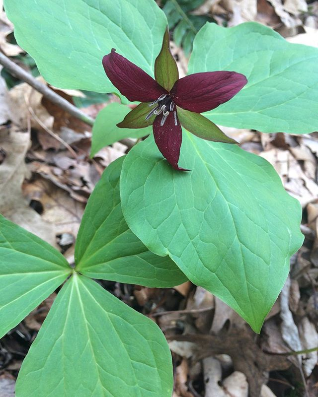 Red trillium alongside pathway in hidden forest