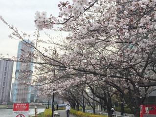 夜桜でした