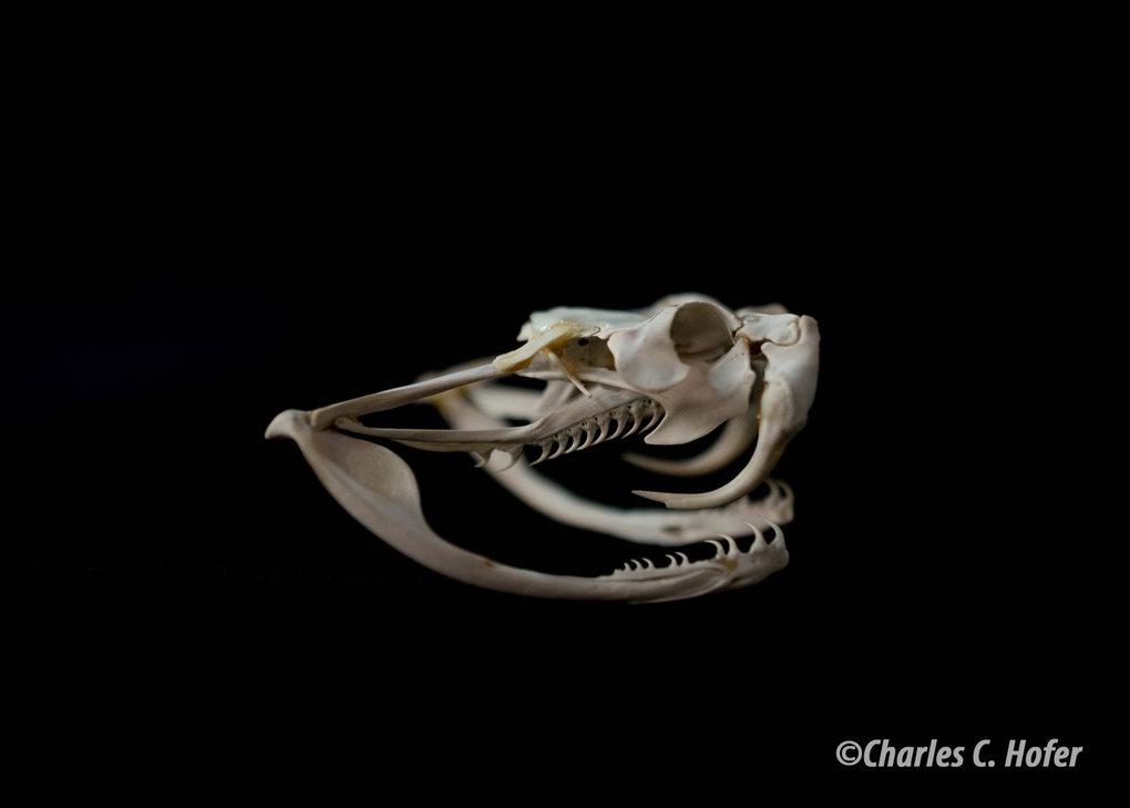 Skull_1_WM.jpg