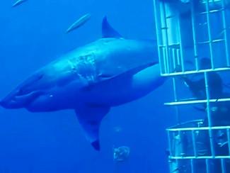 Maior Tubarão Branco Já Filmado - NOTÍCIA DA SEMANA