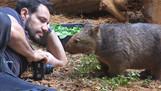 Wombat! Cruzamento de Urso com Koala?