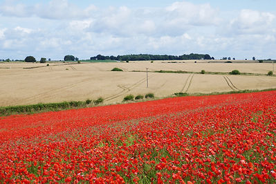 Poppy_Field_Hawksbury_Poppies_CopyrightD