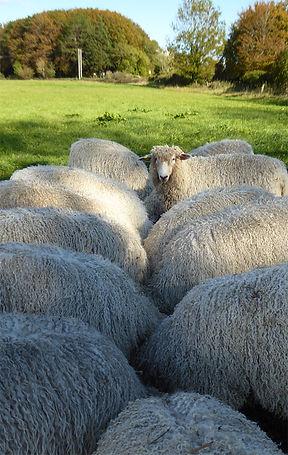 Sheep_Backs_CotswoldLion_5mthOldLambs_Ly
