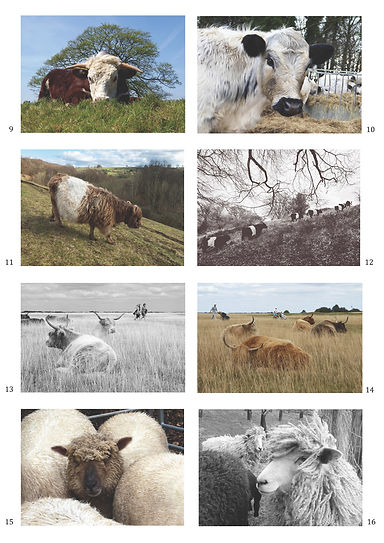 GreetingsCards_SheepCows.jpg