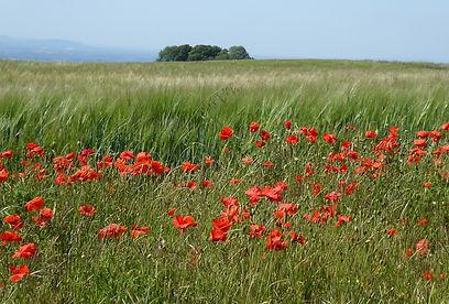 Poppies2_Bredon_CopyrightDeborahRoberts_