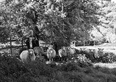 SheepUnderTree_BWRoughTest_CopyrightDebo