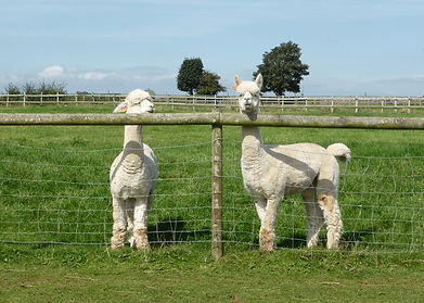 Alpacas_Fence_Minchinhampton_Crop_P11504