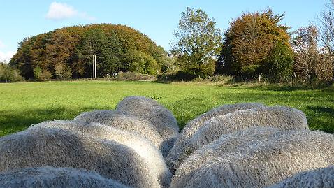 Sheep_Backs_ColourRet_Cotswold_Lions_Lyp