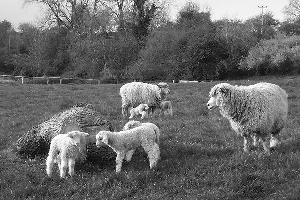 Lambs_Ewes_Log_BW_Lypiatt_CopyrightDebor