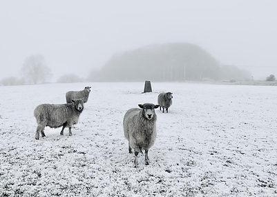 Snow_Sheep_Trig_Crop2_Lypiatt_Copyright_