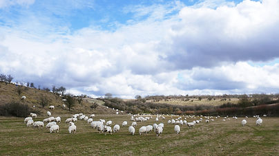 Sheep_ColourCrop_Flock_16_9_CopyrightDeb