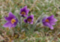Pasqueflowers300_57_Four_PhotoDeborahRob