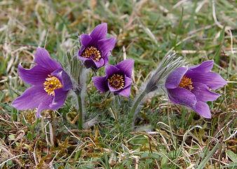 Pasqueflowers300_57_Four_PhotoDeborahRob