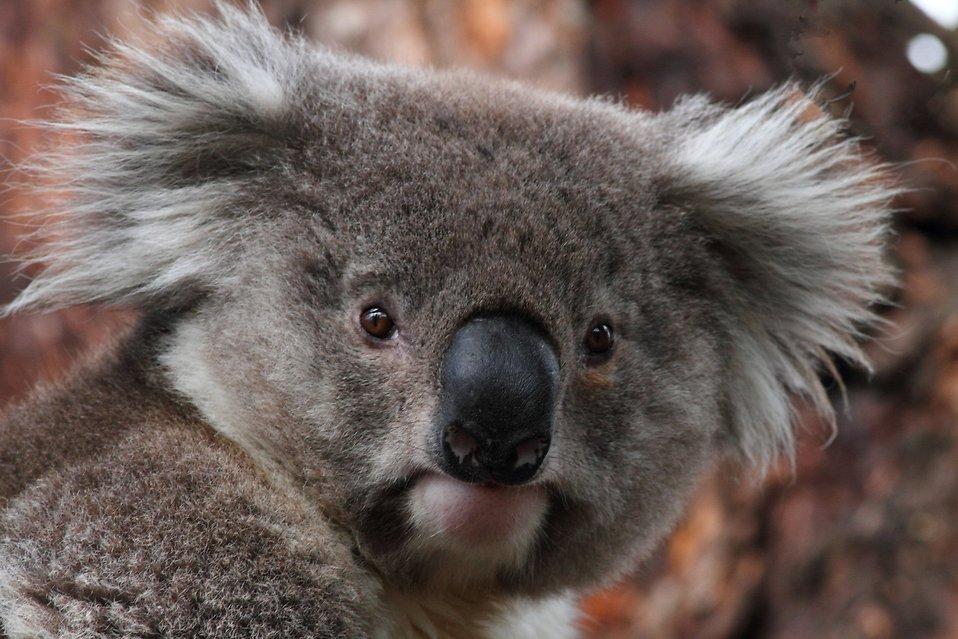 17708-koala-bear-pv