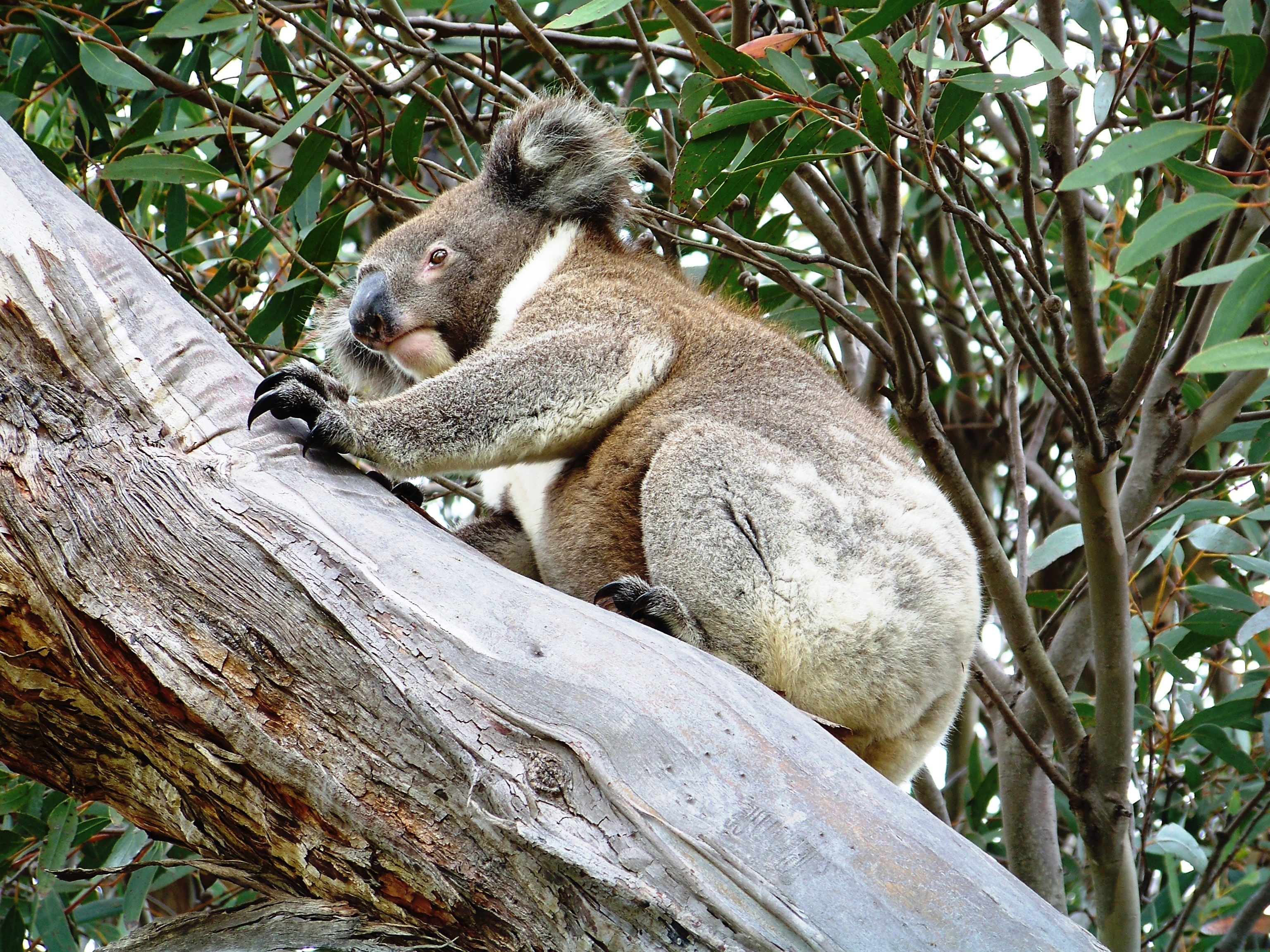 koala-next-to-cabin