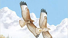 The Common Buzzard by Sean Walls & Robert Kenwood