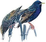 Starlings Dan Powell.jpg