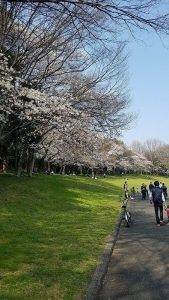 🌸桜情報🌸
