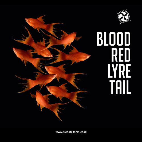 BLOOD RED LYRE TAIL