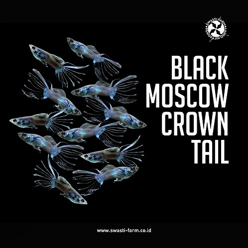 BLACK MOSCOW CROWN TAIL