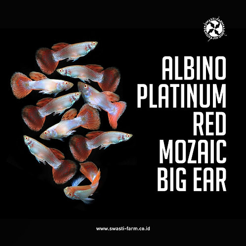 ALBINO PLATINUM RED MOSAIC BIG EAR