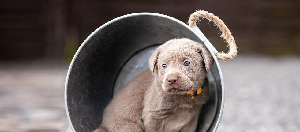 Silberne Labrador Welpen