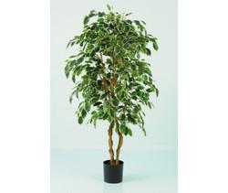 Ficus Varigated Tree 6ft €165