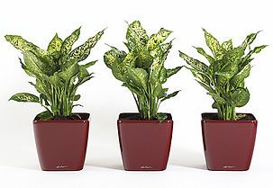 Office Plant | Dieffenbachia - Dumb Cane