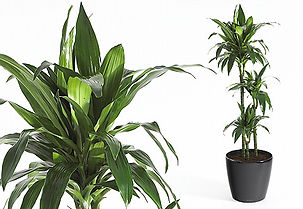 Office Plant | Dracaena Deremensis Janet Craig