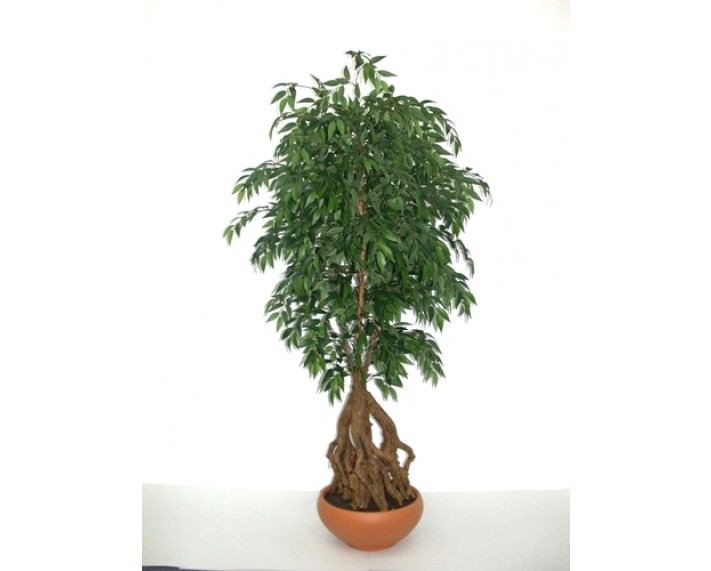 French Ficus Root Tree 5ft €360