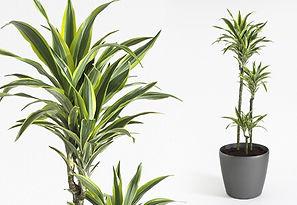 Plant Rental |Dracaena Fragrans Lemon Lime