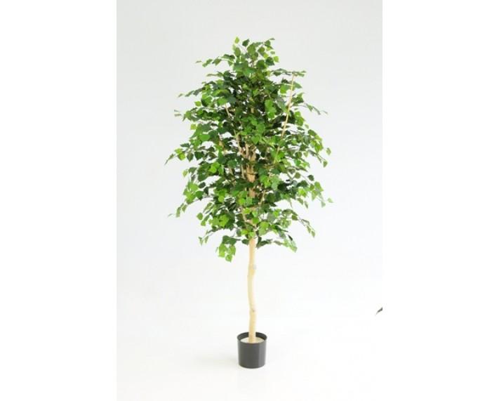 White Birch Tree 5ft €145
