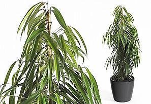 Office plant | Ficus Alii