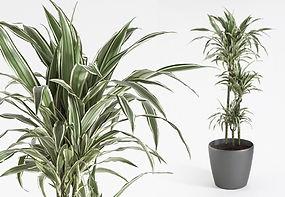 Interior Plant | Dracaena Fragrans White Stripe